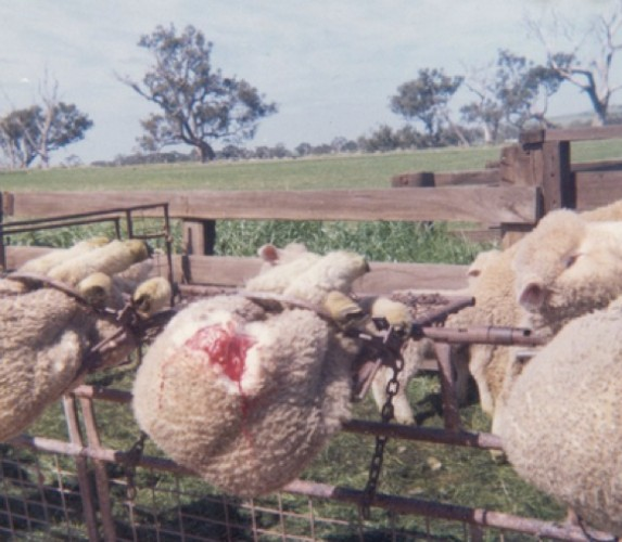 why lanolin is not cruelty free mulesing sheep
